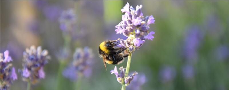 Bijen in de natuur