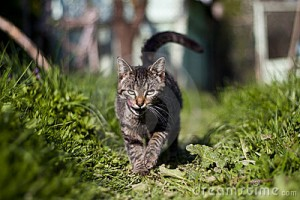 Kat sluipend in de tuin